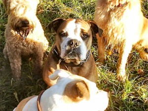 ilok-continental-bulldog-greifensee