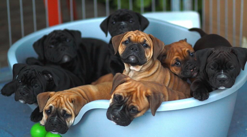 vom-greifenseeblick-continantal-bulldog